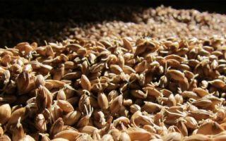 Пошаговое приготовление солода для самогона и простой рецепт зерновой браги